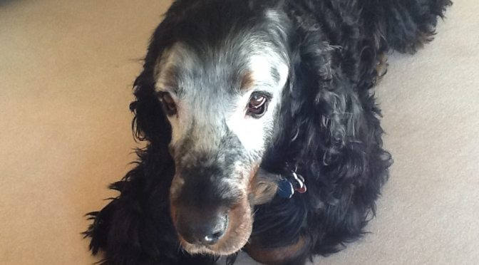 Vitiligo: My Gordon Setter is turning white!