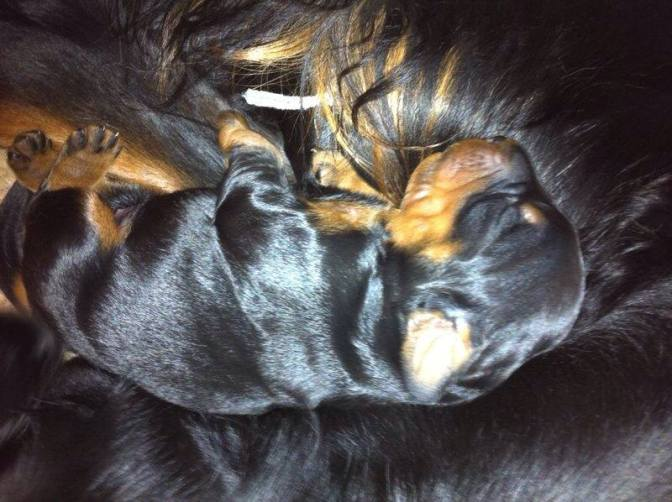 Cerebellar Degeneration in the Gordon Setter