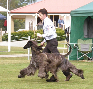 A fantastic illustration of a dog at optimum speed. Handler is Grant Gibson.