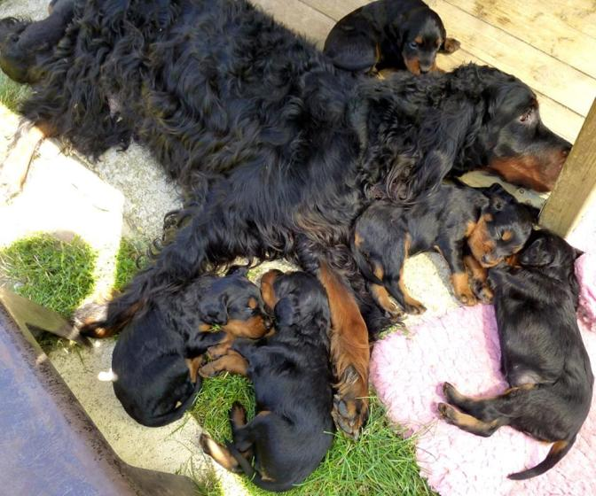 Why are puppies in my litter weak, trembling and stumbling? Is it Dungd?