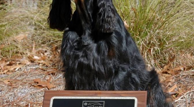 The Very Versatile Gordon Setter – Meet Tyler Dargay!