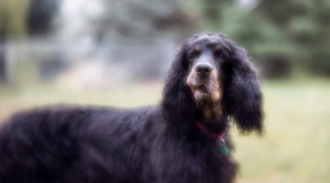 Population Analysis of the Gordon Setter – Genetic status of purebred dogs in the UK