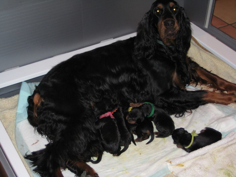 Whelping List Organizing Supplies Gordon Setter Expert